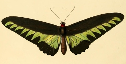 Ornithoptera brookiana - now: Troides brookiana (Wallace, 1855).